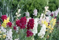 digitalis(0.0), annual plant(1.0), flower(1.0), plant(1.0), gladiolus(1.0), flora(1.0), snapdragon(1.0),