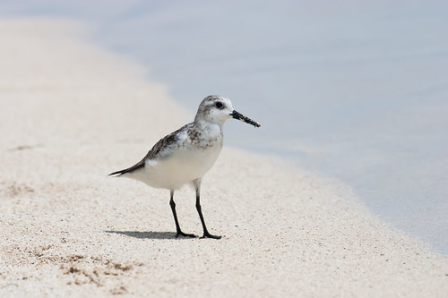 Sanderling, Belize