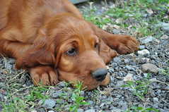 dog breed, animal, dog, pet, irish setter, setter, english cocker spaniel, golden retriever, carnivoran,