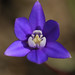 starflower brodiaea - Photo (c) randomtruth, some rights reserved (CC BY-NC-SA)