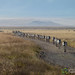 Migration of the Zebras - Ngorongoro Crater, Tanzania
