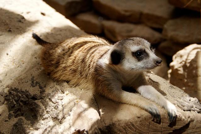 Lounging Meerkat