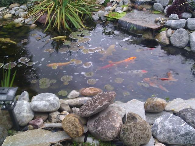 Beautiful koi pond flickr photo sharing for Beautiful koi ponds