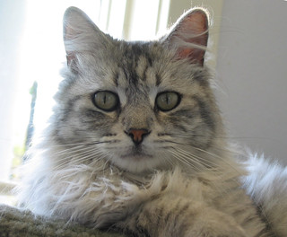 Silver Tabby, Long Hair
