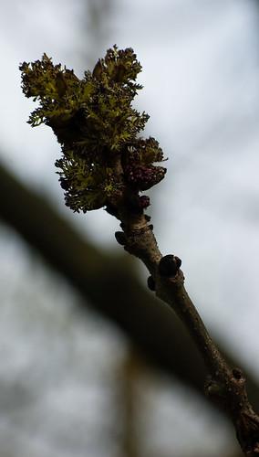 Ash flowering