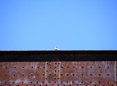 Pigeon, Rust and Iron