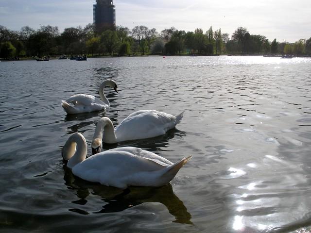 swans swans swans