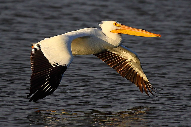 IMG_3097 American White Pelican