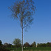 Small photo of Young Birch Tree