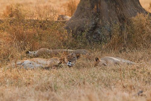 Lions (stuffed)