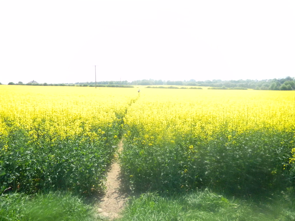 Yellow fields Laindon Circular Oilseed rape.