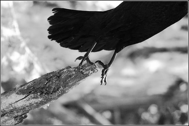 crow taking flight