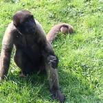 wooly_monkey