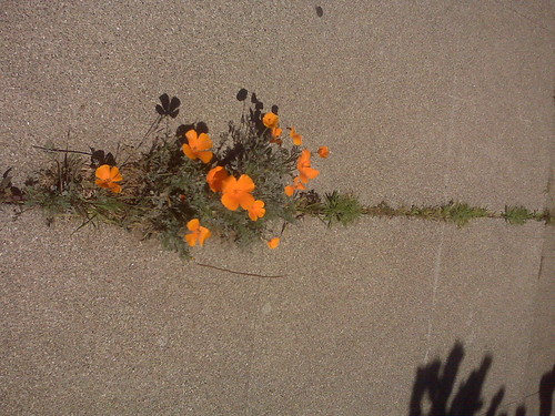 Brave Little California Poppy