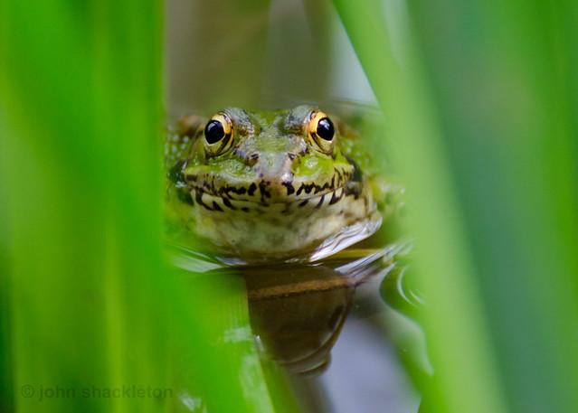 Edible Frog / Rana Comestible (Rana esculenta)
