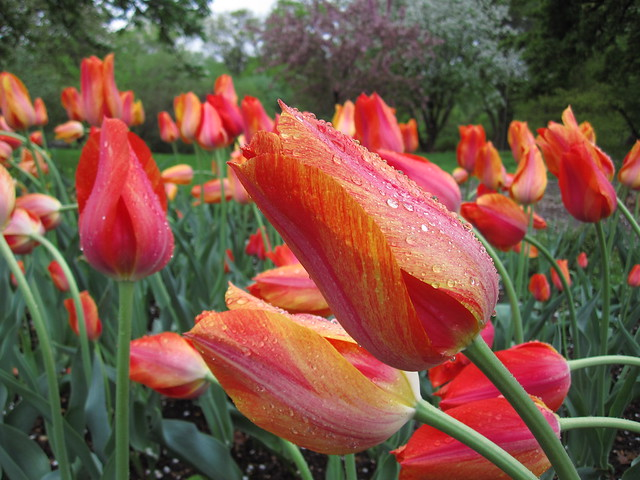 Tulipa 'El Niño' blooms on Lily Pool Terrace. Photo by Rebecca Bullene.