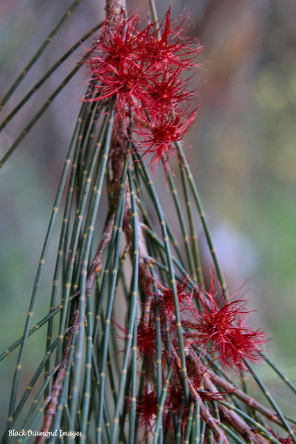 Allocasuarina littoralis - Black She-oak
