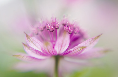 A splash of Astrantia