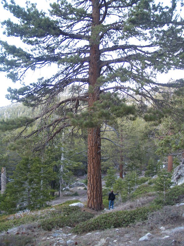 Huge tree on the southern slope of Cornell Peak.