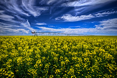 Canola Fields Forever HDR