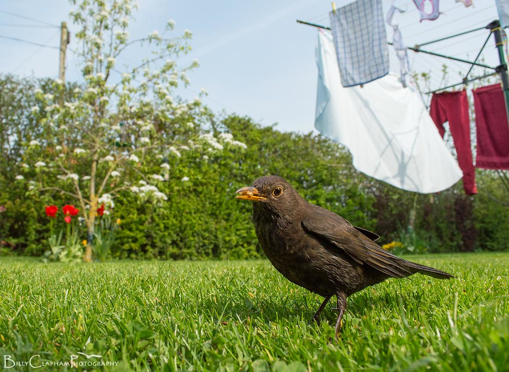 blackbird female wide angle garden habitat nikon d3200 billy clapham