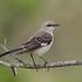 Mockingbird by Hammerchewer