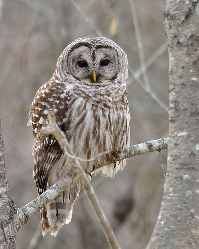 "Barred Owl ~ Up Close by Christine Fusco ~ ""Jersey Strong"""