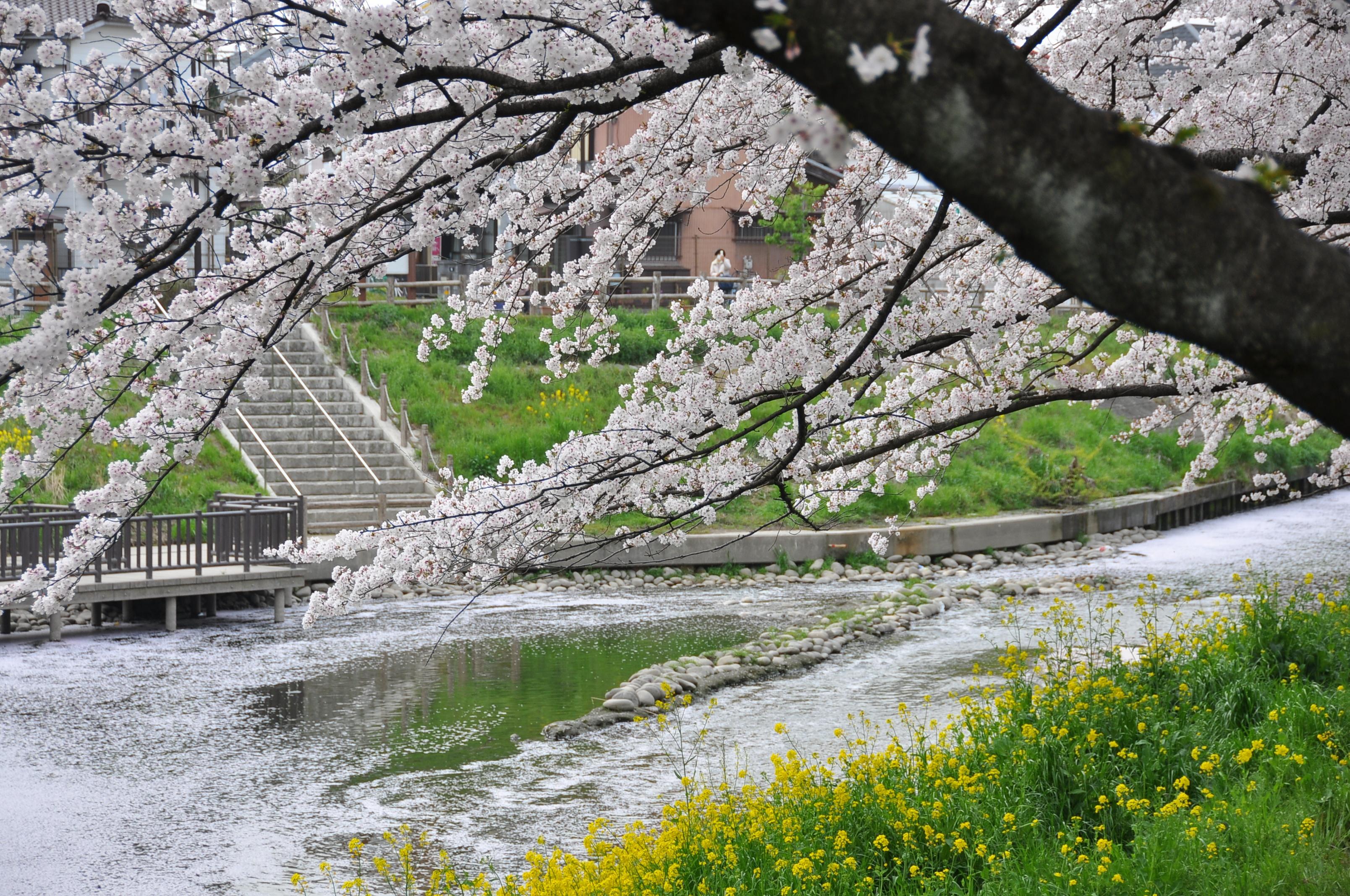 五条川周辺の桜