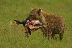 grizzly bear(0.0), dhole(0.0), animal(1.0), prairie(1.0), mammal(1.0), hyena(1.0), fauna(1.0), wildlife(1.0),