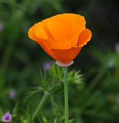 annual plant, eschscholzia californica, flower, yellow, plant, macro photography, wildflower, flora, meadow, plant stem, petal, poppy,