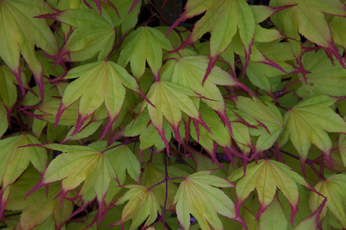 New  leaves acer palmatum 'Tsuma-gaki'