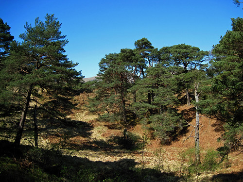 Scots Pine Forest