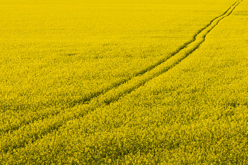 field yellow sweden tracks seed rape sverige raps östergötland canoneos7d