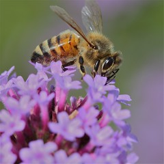 Honeybee on Verbena bonariensis