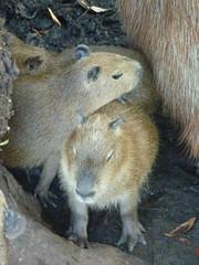 animal, rodent, fauna, capybara, degu, gerbil,