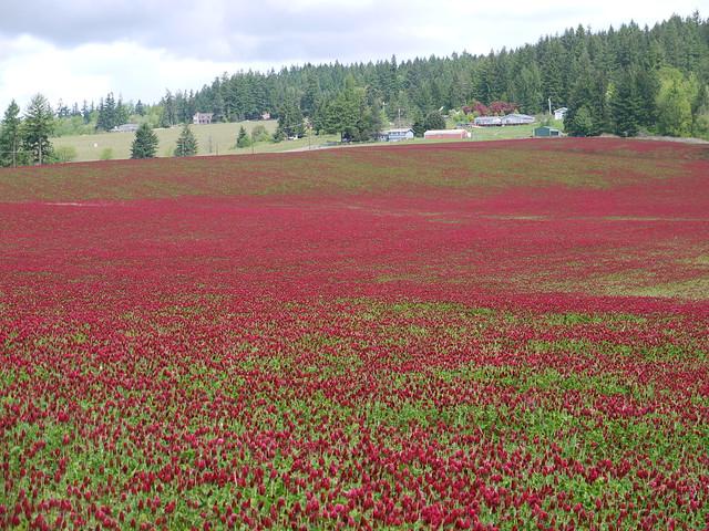 Red Clover Field Flickr Photo Sharing