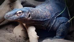 animal, reptile, lizard, komodo dragon, fauna, close-up, scaled reptile, wildlife,