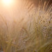 Backlit Summer Barley, Mill End
