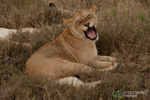 Lion Yawn - Serengeti, Tanzania
