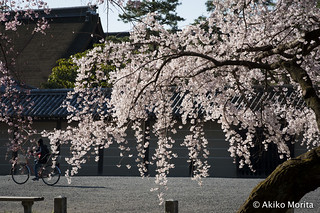 Kyoto, Japan - Bike Commuter Passing Through Spring LIght at Kyoto Imperial Palace