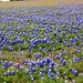 Texas Bluebonnets by mikerastiello