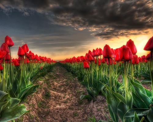 red usa field washington © mount tulip fields vernon hdr whatcom ©allrightsreserved zingpix jeffjaquish