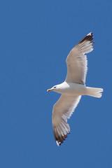 suliformes(0.0), gannet(0.0), animal(1.0), charadriiformes(1.0), albatross(1.0), wing(1.0), fauna(1.0), european herring gull(1.0), beak(1.0), bird(1.0), flight(1.0), seabird(1.0),