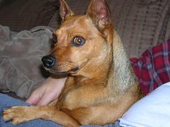 dog breed, animal, dog, carolina dog, pet, carnivoran,
