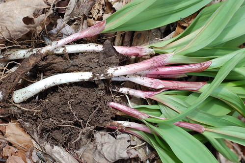 A bunch of wild ramps, fresh from the ground by Eve Fox, Garden of Eating blog