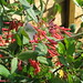 Small photo of Lonicera sempervirens Cedar Lane