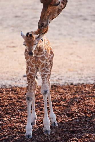 Mother licking the baby giraffe