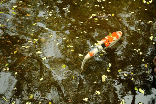 Koi at japanese garden uh manoa flickr photo sharing for Koi japanese garden screensaver