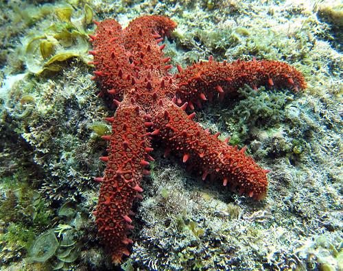 Starfish, Cabo Pulmo, Baja California, Mexico