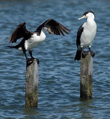 Birds - NZ (Native & SI)